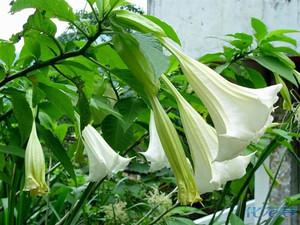 【转载】美丽到剧毒的花木本  曼陀罗 - 烈焰冰峰 - 颜王堂主彭书柳